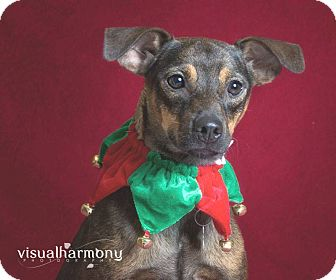 Manchester Terrier/Chihuahua Mix Dog for adoption in Phoenix, Arizona - Sonja