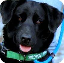 Labrador Retriever Dog for adoption in Wakefield, Rhode Island - ROSE(ADORES CHILDREN!!)