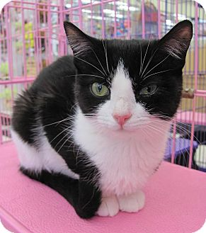 Domestic Shorthair Cat for adoption in Covington, Kentucky - Orka