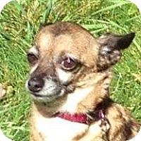 Adopt A Pet :: Daisy - West Richland, WA