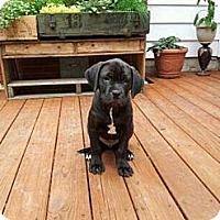Adopt A Pet :: Meeko - Lancaster, OH