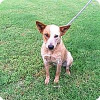Adopt A Pet :: Sassy - Conway, AR