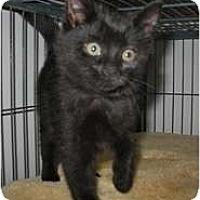 Adopt A Pet :: Midnight - Shelton, WA