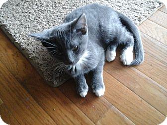 Domestic Shorthair Kitten for adoption in Fairborn, Ohio - Gonzo