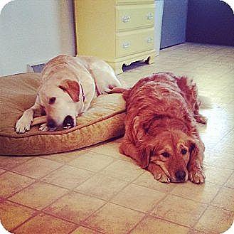 Golden Retriever Mix Dog for adoption in White River Junction, Vermont - Sadie & Stella