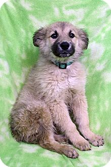 Golden Retriever/Shepherd (Unknown Type) Mix Puppy for adoption in Westminster, Colorado - Chablis