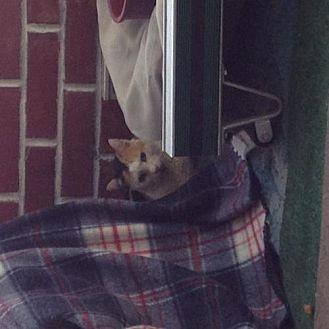Domestic Shorthair Cat for adoption in San Jose, California - Momma