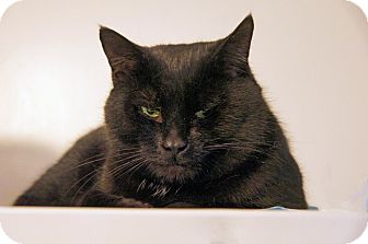Domestic Shorthair Cat for adoption in Victor, New York - Whiskers