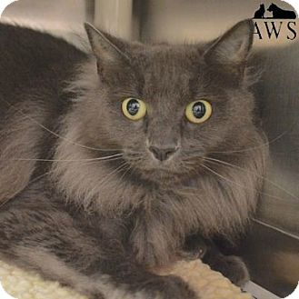 Domestic Mediumhair Cat for adoption in West Kennebunk, Maine - Silver