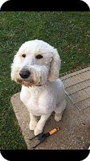Labradoodle Dog for adoption in Woodstock, Georgia - Charlie II