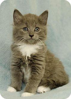 Domestic Mediumhair Kitten for adoption in Winston-Salem, North Carolina - Buttercup