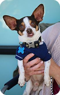 Chihuahua Mix Dog for adoption in Redondo Beach, California - Kody Makaroni