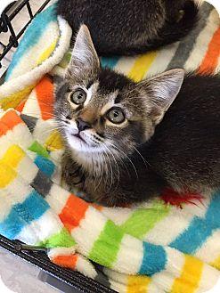 Domestic Mediumhair Kitten for adoption in Mansfield, Texas - Wyatt