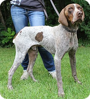 German Shorthaired Pointer Mix Dog for adoption in Alma, Wisconsin - Rocky