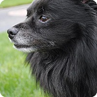 Adopt A Pet :: Shadow - Freeport, NY