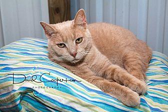 Domestic Shorthair Cat for adoption in Monterey, Virginia - Harry- $25 adoption