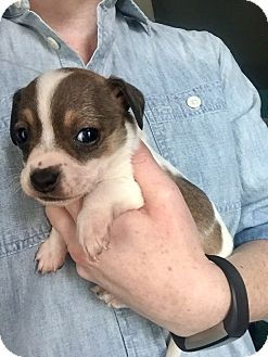 Chihuahua/Rat Terrier Mix Puppy for adoption in College Station, Texas - Cassiopeia