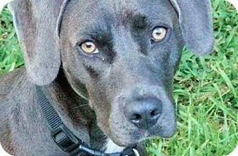 Weimaraner/Labrador Retriever Mix Dog for adoption in Macon, Georgia - Izzy