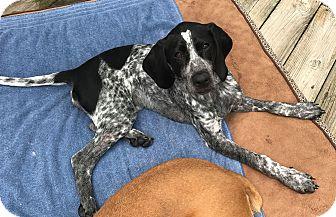 Bluetick Coonhound Puppy for adoption in Winchester, Virginia - Laney