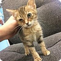 Domestic Shorthair Kitten for adoption in Gulfport, Mississippi - Mary-foster hero needed URI