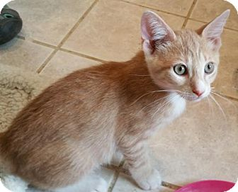 Domestic Shorthair Cat for adoption in Berlin, Maryland - Stanley
