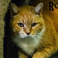 Adopt A Pet :: Ross - Winchester, TN