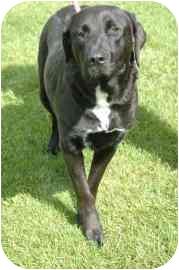 Labrador Retriever Mix Dog for adoption in Walker, Michigan - Minnie