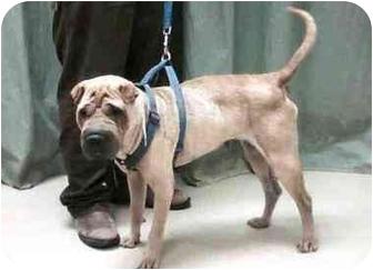 Shar Pei Dog for adoption in Houston, Texas - Erin