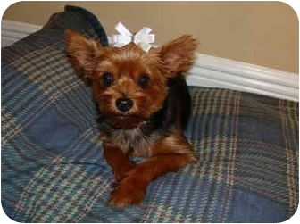 Yorkie, Yorkshire Terrier Dog for adoption in Ocala, Florida - Sheba