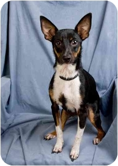 Basenji/Chihuahua Mix Dog for adoption in Anna, Illinois - BOOTS