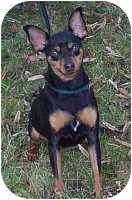 Miniature Pinscher Dog for adoption in Columbus, Ohio - chance