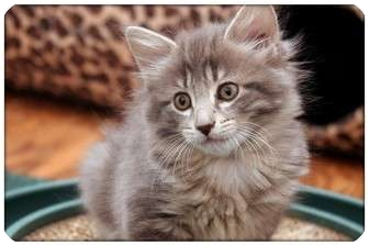 Domestic Mediumhair Kitten for adoption in Sterling Heights, Michigan - Deidra - ADOPTED!