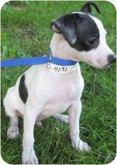Rat Terrier Mix Puppy for adoption in Mt. Prospect, Illinois - PeeWee