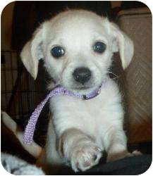 Terrier (Unknown Type, Small) Mix Puppy for adoption in Encino, California - Bree