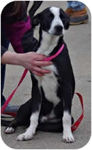 Pointer Mix Dog for adoption in Avon, New York - Schultzie