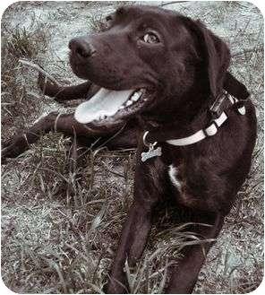 Labrador Retriever Mix Dog for adoption in Reynoldsburg, Ohio - Prissy