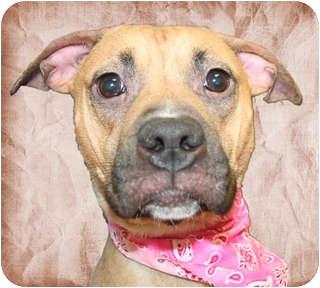 American Pit Bull Terrier Mix Dog for adoption in Cincinnati, Ohio - Boomer
