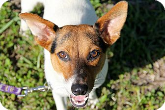 Jack Russell Terrier/Beagle Mix Dog for adoption in Boynton Beach, Florida - Jolly