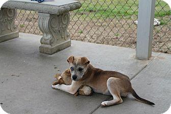 Husky/Labrador Retriever Mix Puppy for adoption in Albany, Georgia - Muffin