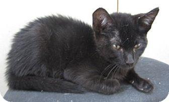 Domestic Shorthair Kitten for adoption in Westminster, California - Sloan