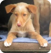 Labrador Retriever Mix Puppy for adoption in berwick, Maine - Tallahassee