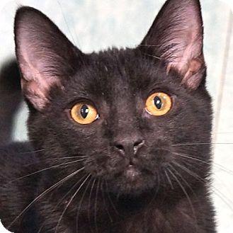 Domestic Shorthair Kitten for adoption in Sprakers, New York - Jethro
