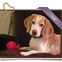 Adopt A Pet :: Yogi - Portland, OR