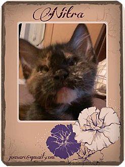 Domestic Mediumhair Cat for adoption in Audubon, New Jersey - Nitra