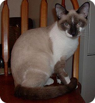 Siamese Cat for adoption in Vancouver, Washington - Snowflake
