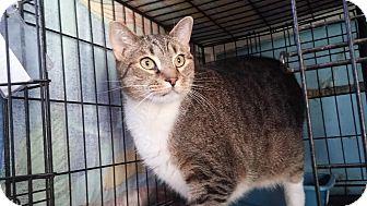 Domestic Shorthair Cat for adoption in Darlington, South Carolina - Mikey