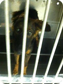 Collie/Sheltie, Shetland Sheepdog Mix Dog for adoption in Upper Sandusky, Ohio - XXXXXXX