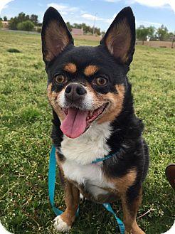 Corgi/Miniature Pinscher Mix Dog for adoption in Las Vegas, Nevada - Ralphie