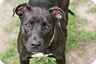 American Pit Bull Terrier/Labrador Retriever Mix Dog for adoption in Midland, Michigan - Zoey