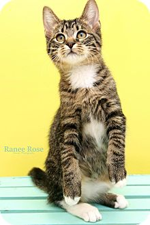 Domestic Shorthair Cat for adoption in Sterling Heights, Michigan - Mittens